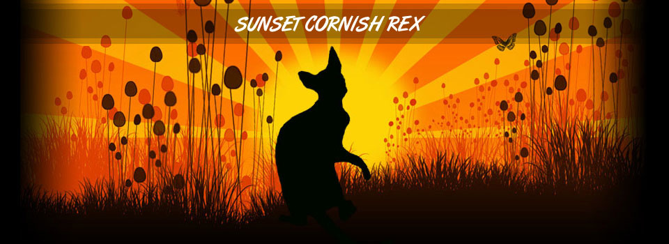Sunset Cornish Rex